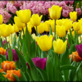 Tulipmania-Gardens-by-the-Bay