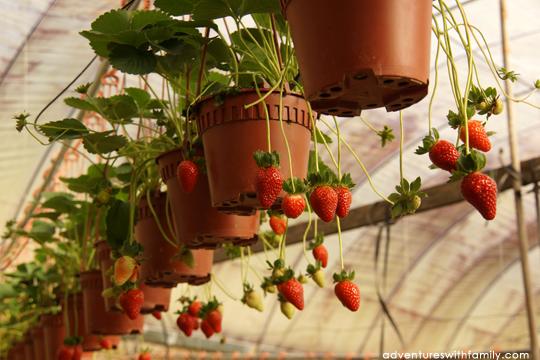 Cameron Highlands Strawberries