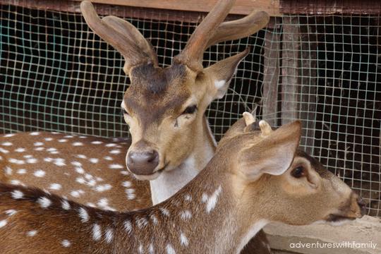 Colmar-Deer