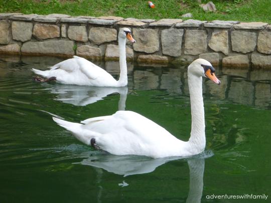 Colmar Tropicale Swans